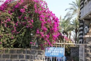 Bougainvillea in Capernaum